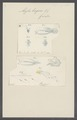 Abyla trigona - - Print - Iconographia Zoologica - Special Collections University of Amsterdam - UBAINV0274 110 13 0010.tif