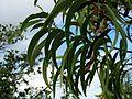 Acacia koa (5187357133).jpg