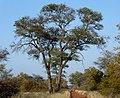 Acacia nigrescens, habitus, Steenbokpan, a.jpg