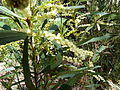Acacia obtusifolia 3.jpg