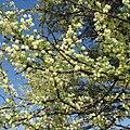 Acacia tortilis subsp heteracantha, blomtyd, Lekkerbreek-plaas, b.jpg