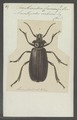 Acanthinodera - Print - Iconographia Zoologica - Special Collections University of Amsterdam - UBAINV0274 032 04 0031.tif