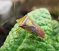 Acanthosoma haemorrhoidale Hawthorn Shieldbug - Flickr - gailhampshire.jpg