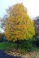 Acer saccharum 'Barrett Cole' - Oregon Garden - Silverton, Oregon - DSC00195.jpg
