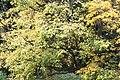 Acer stachyophyllum JPG1a.jpg