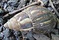Achatina fulica (Giant African land snail).jpg