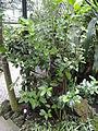 Acokanthera oblongifolia - Palmengarten Frankfurt - DSC01796.JPG