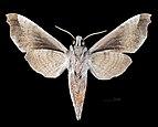Acosmeryx miskini MHNT CUT 2010 0 139 Wau New Guinea male ventral.jpg