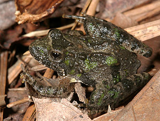 Northern cricket frog - Image: Acris crepitans PCCA20061001 8206B1