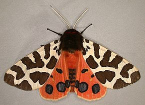 Description de l'image Acrtia caja, Garden Tiger, Trawscoed, North Wales, July 2006 (21187979696).jpg.