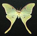 Actias luna (luna moth) (17257003162).jpg
