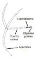 Actinomyxon-español.png
