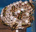 Active Wasp Nest(2).JPG