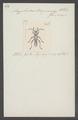 Acyphoderes - Print - Iconographia Zoologica - Special Collections University of Amsterdam - UBAINV0274 033 15 0004.tif