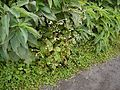 Adelocaryum coelestinum (Lindl.) Brand (5086235254).jpg