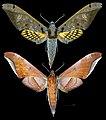 Adhemarius tigrina MHNT CUT 2010 0 355 Alto Palmar Chapare Bolivia male.jpg