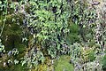 Adiantum capillus-veneris, Kanjon reke Jerme, Srbija (207).jpg