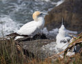 Adult and child Gannet at Muriwai.jpg