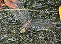 Aeshna crenata (laying eggs s5).JPG