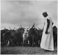 Africa. French Equatorial Africa. The zebu herd (oxen) arrive at Compagnie Miniere de l' Oubanghi headquarters in... - NARA - 541651.tif