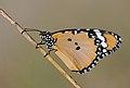 African Monarch - Danaus chrysippus 1.JPG