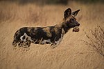 African Wild Dog with a Dik Dik head.jpg