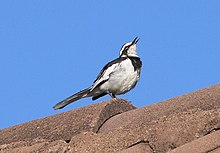 African pied wagtail.jpg