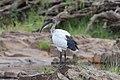 African sacred ibis in Zimbabwe.jpg
