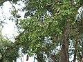 Afzelia xylocarpa Luang Prabang, Laos ; les gousses s'ouvrent sur l'arbre.jpg