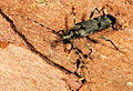 Agapanthida pulchella.jpg