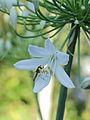 Agapanthus (bloem) 01.JPG