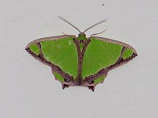 <i>Agathia</i> genus of insects