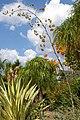 Agavaceae, Mt Coot-tha Botanic Gardens, Toowong IMGP0012.jpg