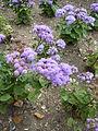 Ageratum houstonianum 'Blue Mink' (Compositae) plant.JPG