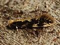 Agnathosia mendicella (27364622038).jpg