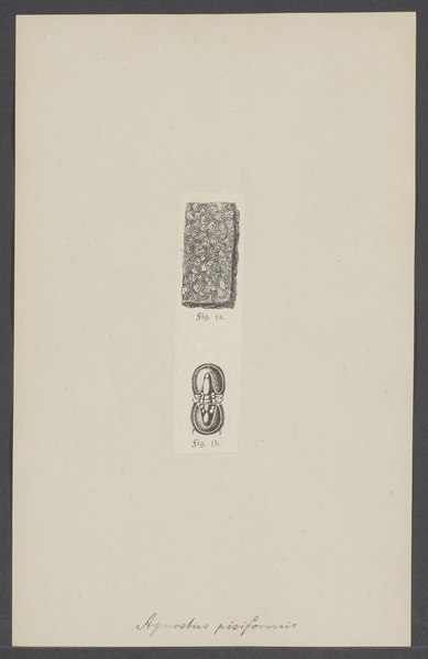 File:Agnostus pisiformis - - Print - Iconographia Zoologica - Special Collections University of Amsterdam - UBAINV0274 006 04 0010.tif