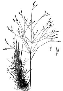 Agrostis hyemalis drawing.png