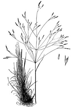 Agrostis hyemalis drawing