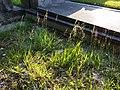 Agrostis stolonifera sl2.jpg