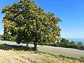 Ailanto - albero del paradiso - Portonovo di Ancona.jpg