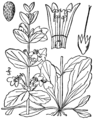 Ajuga reptans drawing.png