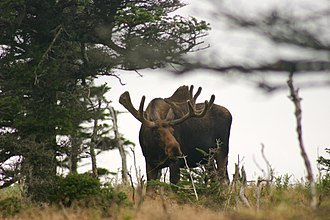 Eastern moose - Image: Alces alces Cape Breton Highlands National Park