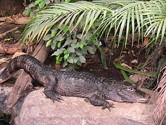 Globidonta - Alligator sinensis, the Chinese Alligator.