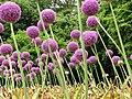 Allium Giganteum (3).jpg