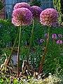 Allium giganteum 001.JPG