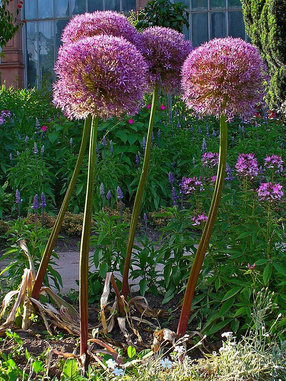 Allium giganteum 001