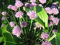 Allium schoenoprasum L1.JPG