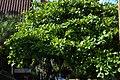 Almendro (Terminalia catappa) (14603248360).jpg