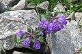 Alpine flora (Gru) (37169305704).jpg