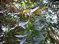 Alpinia purpurata 0002.jpg